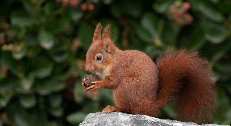 Image Écureuil ecureuil roux au housseau : une espèce protégée – blog du housseau